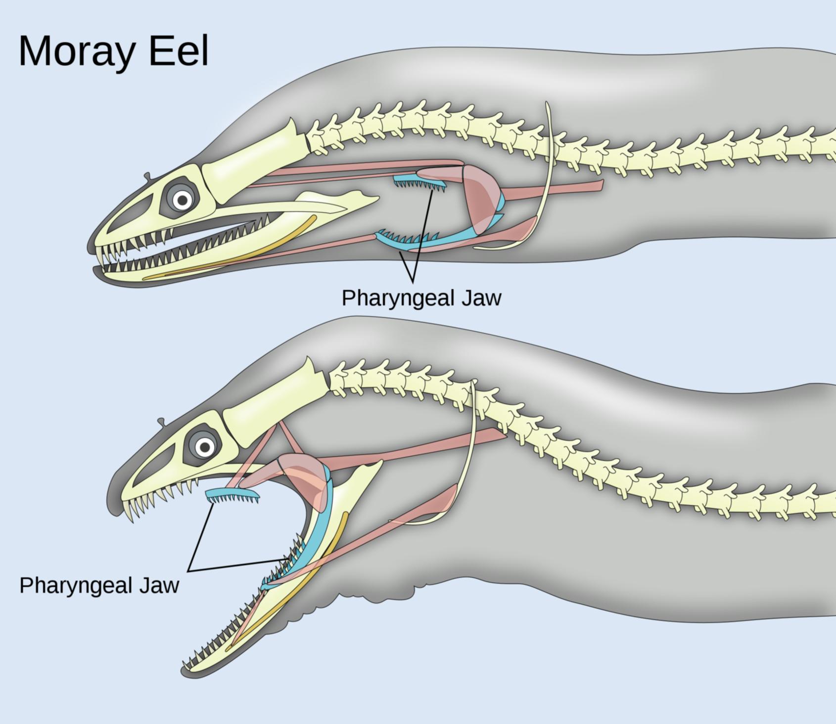 moray_eel
